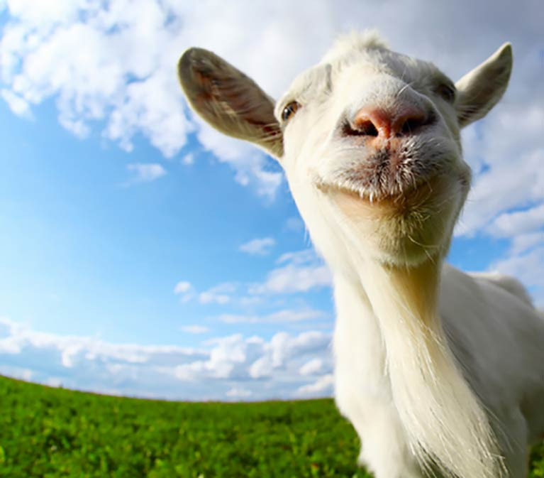 Close up of smiling goat